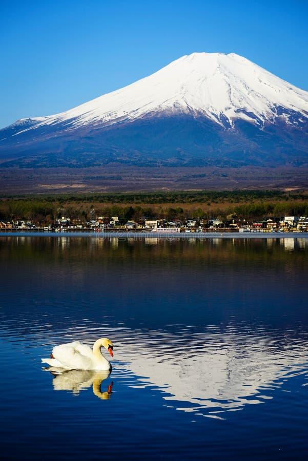 White swan on Yamanaka lake, Japan stock image