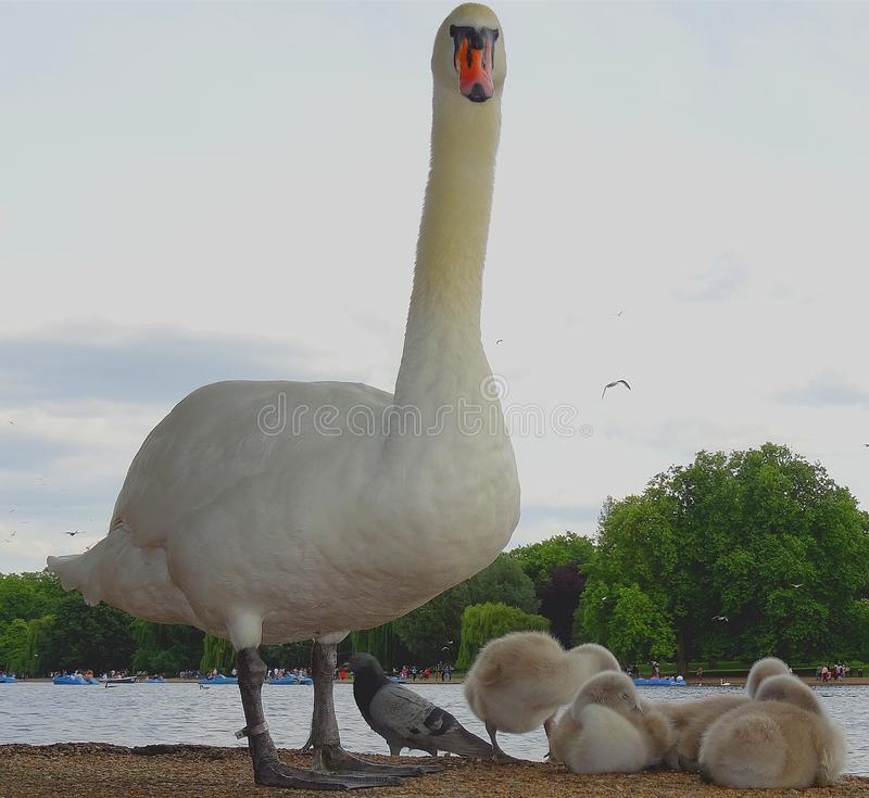 White swan with youngsters stock photography