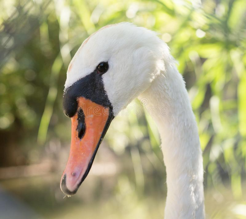 White swan in the zoo royalty free stock photography