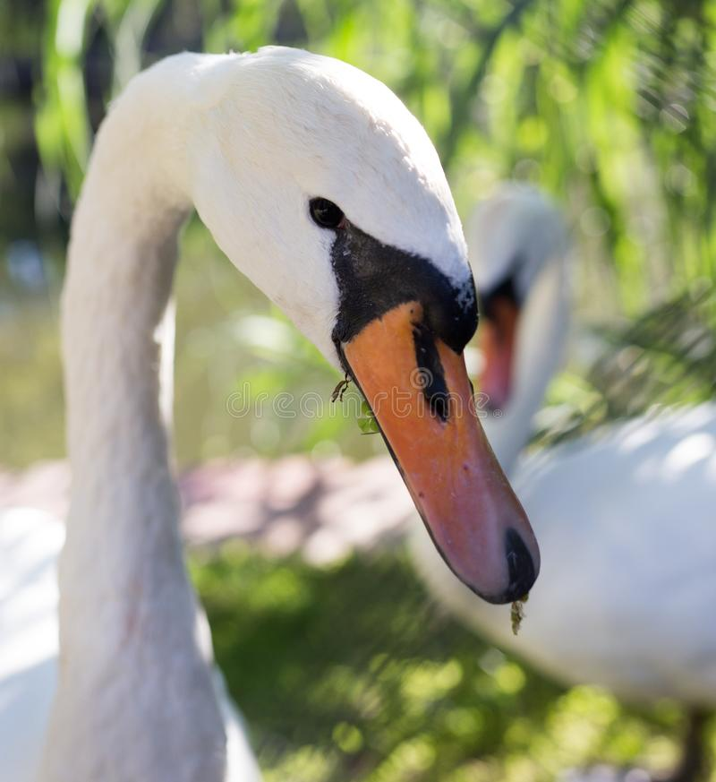 White swan in the zoo royalty free stock photo