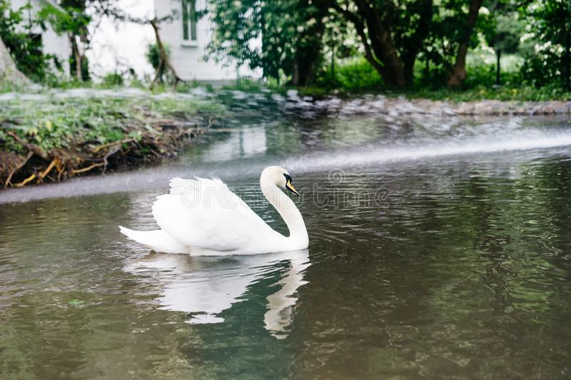 White swan in the zoo swims in the pond stock photos