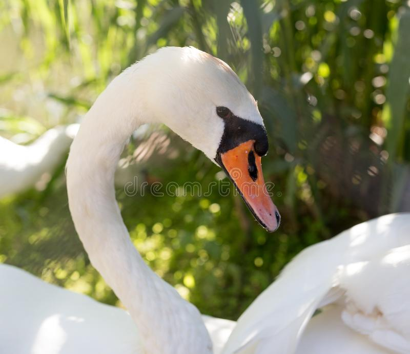 White swan in the zoo royalty free stock image