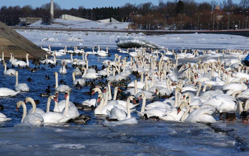 White swans royalty free stock photo