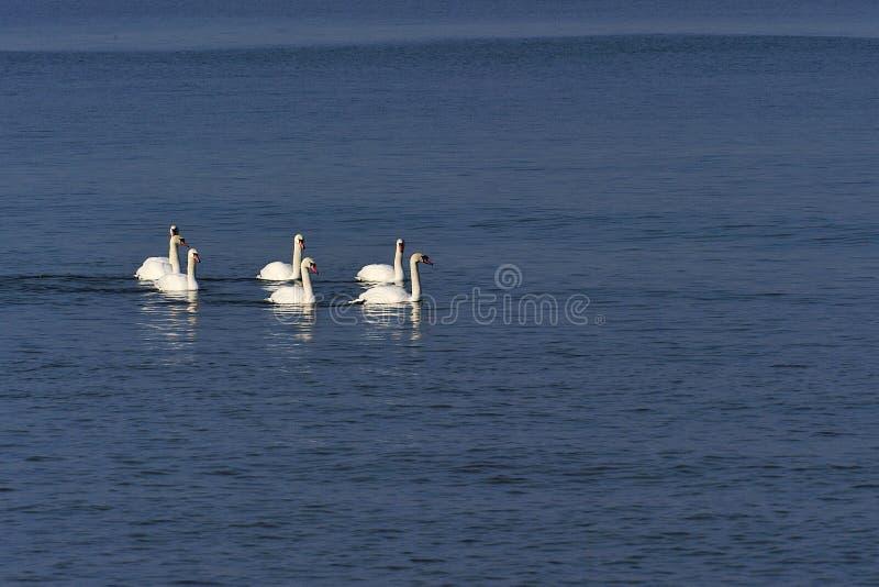 Download White swans stock photo. Image of bird, water, ocean - 23346604