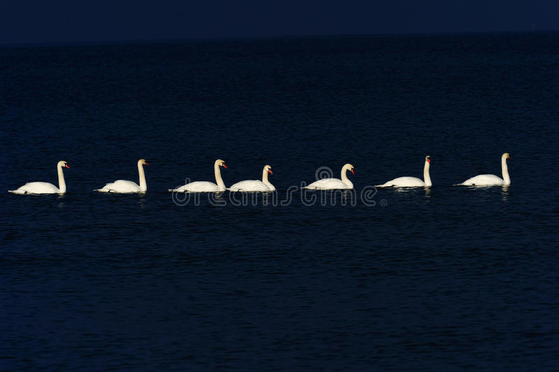 Download White Swans Royalty Free Stock Photos - Image: 23346728