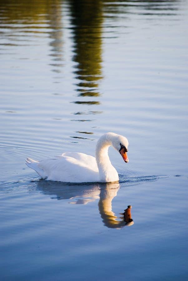 Download White swans stock image. Image of graceful, bird, food - 26966553