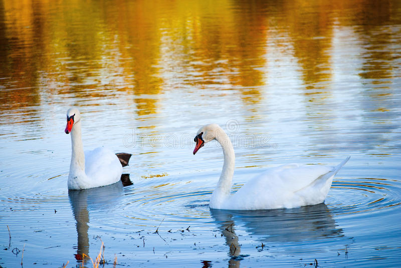 Download White Swans Stock Photography - Image: 26966622