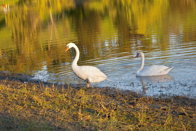 Download White swans stock image. Image of lake, foliage, gentleness - 26966659