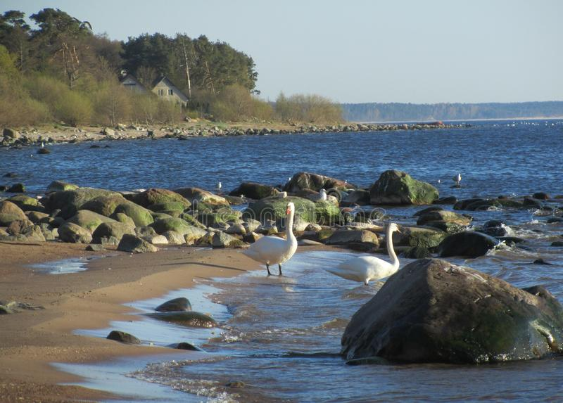 White swans on the Baltic sea among large boulders stock image