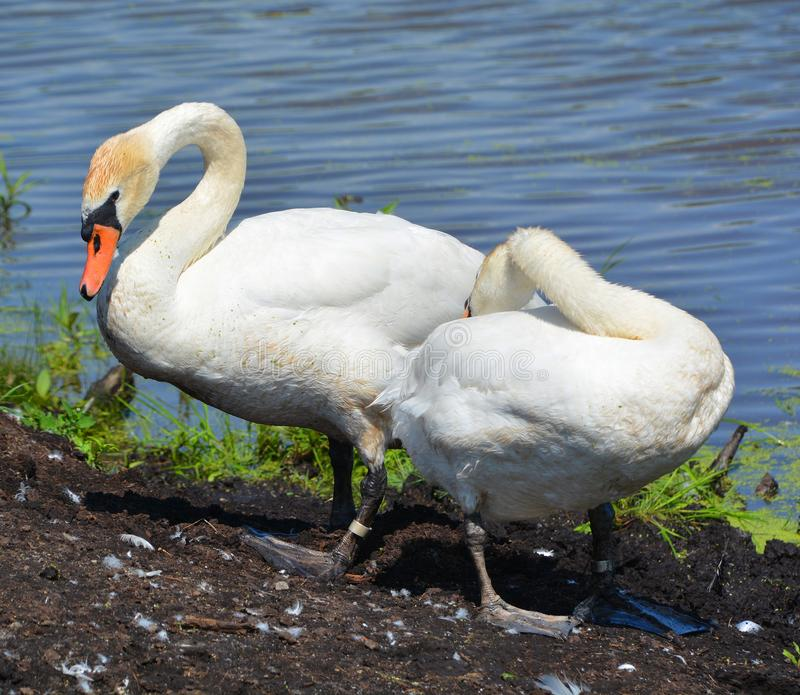 White swans are birds of the family Anatidae. Within the genus Cygnus. The swans close relatives include the geese and ducks. Swans are grouped with the closely royalty free stock photos