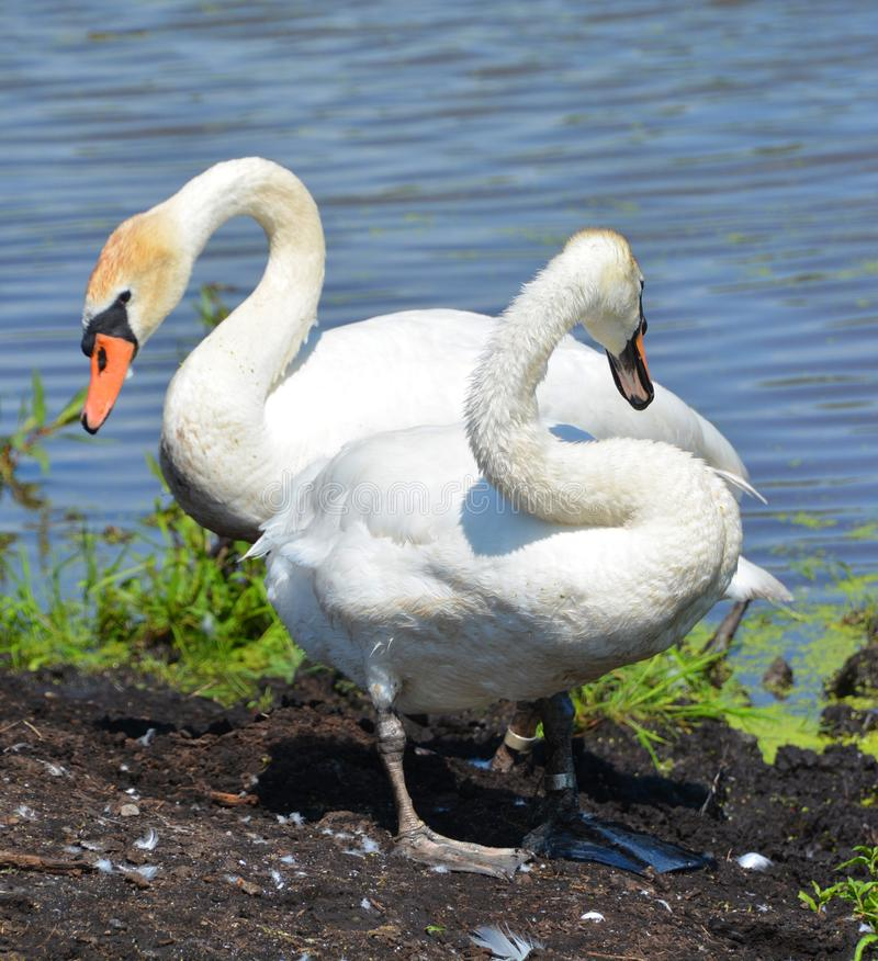 White swans are birds of the family Anatidae. Within the genus Cygnus. The swans close relatives include the geese and ducks. Swans are grouped with the closely stock photography