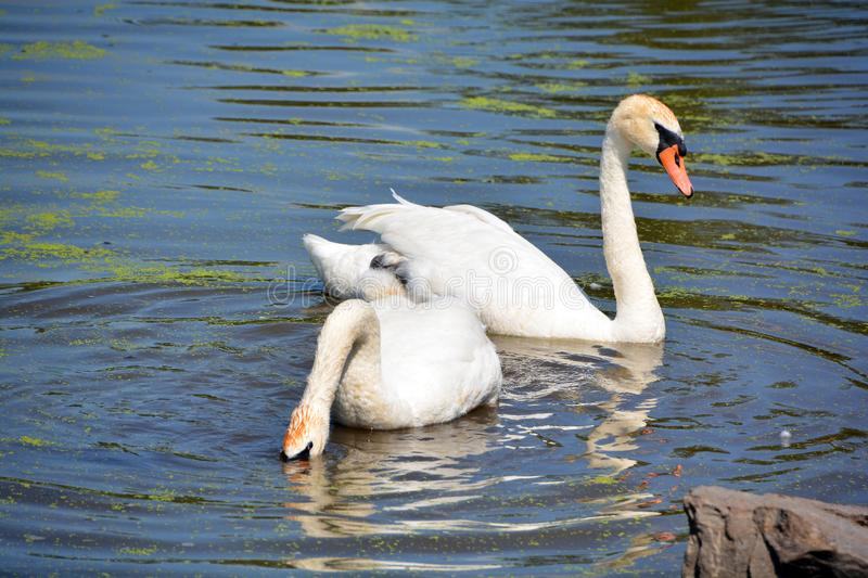 White swans are birds of the family Anatidae. Within the genus Cygnus. The swans close relatives include the geese and ducks. Swans are grouped with the closely stock images
