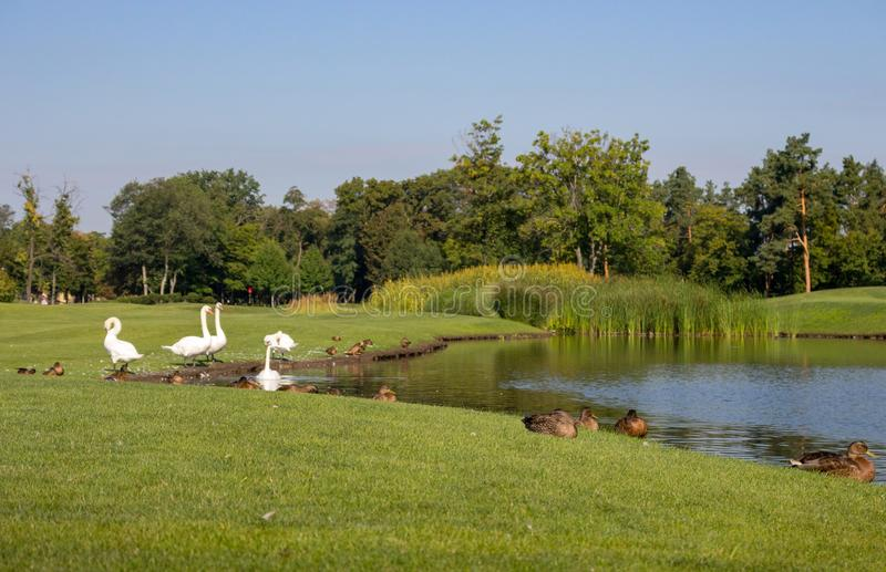 White swans and brown ducks near lake in summer park. Season landscape. Beautiful countryside with birds and pond. royalty free stock image