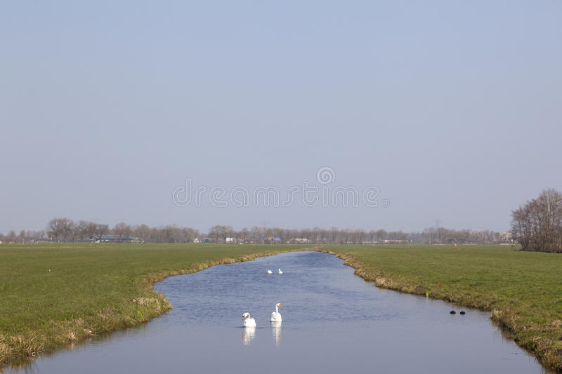White swans in canal between green meadows in the green heart of. Holland between Woerden and Mijdrecht on sunny day in spring royalty free stock photography