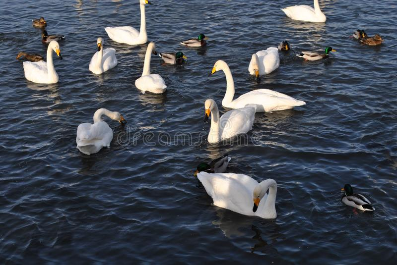 White swans and ducks on the lake. royalty free stock images