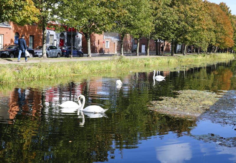 White swans. royalty free stock image
