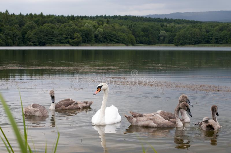 White swans with a flock of small swans on a forest lake stock images