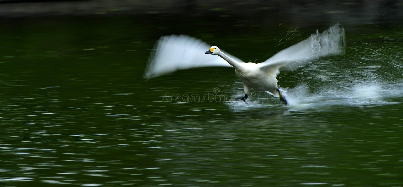 Download White swans flying stock photo. Image of birds, life - 19520386