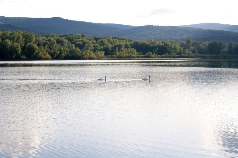 White swans on a lake on a beautiful summer day royalty free stock image