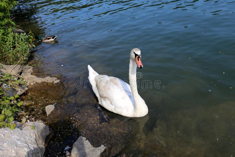 White swans live on the lake stock photo