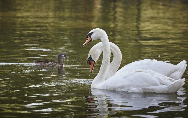 White swans pair royalty free stock image