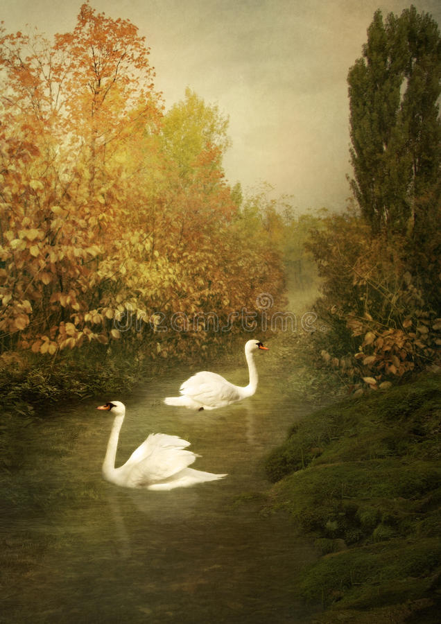 White swans. On the pond on a background of the autumn landscape