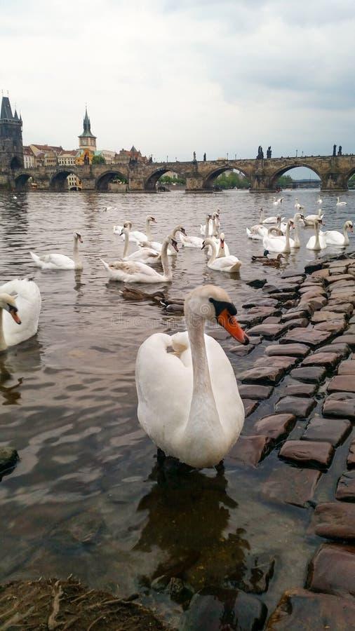 White swans on the river Vltava next to the Charles Bridge, Prague, Czech Republic. Tourism attraction stock images