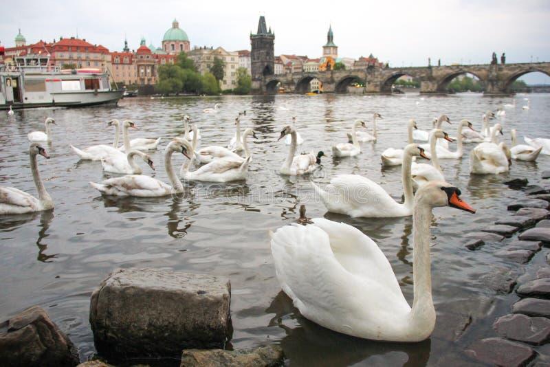 White swans on the river Vltava next to the Charles Bridge, Prague, Czech Republic. Tourism attraction royalty free stock photos