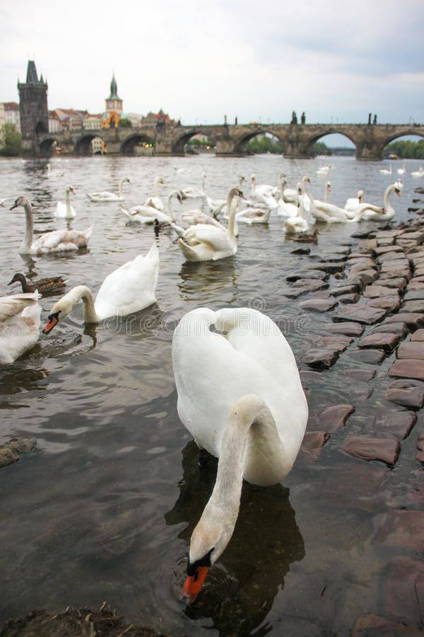 White swans on the river Vltava next to the Charles Bridge, Prague, Czech Republic. Tourism attraction royalty free stock images