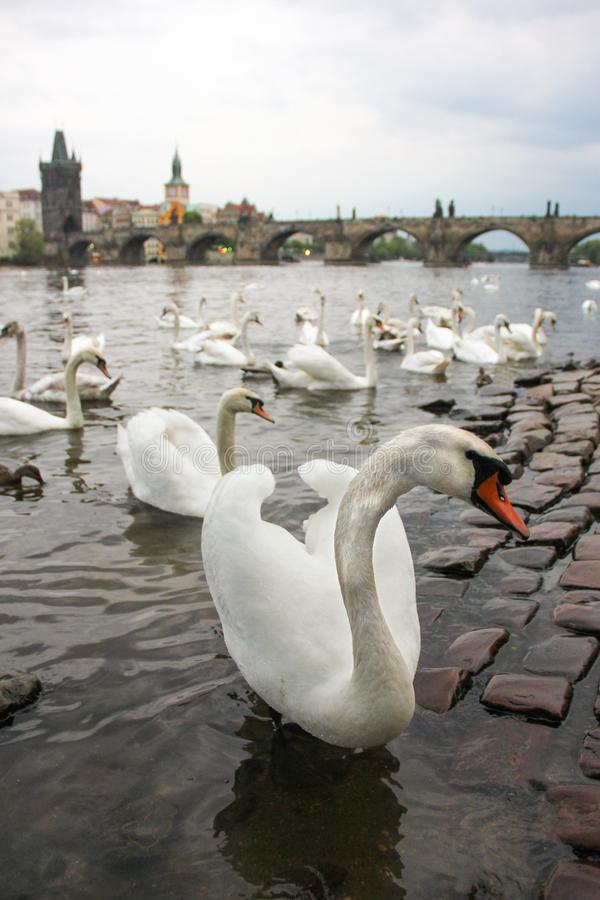 White swans on the river Vltava next to the Charles Bridge, Prague, Czech Republic. Tourism attraction stock photo