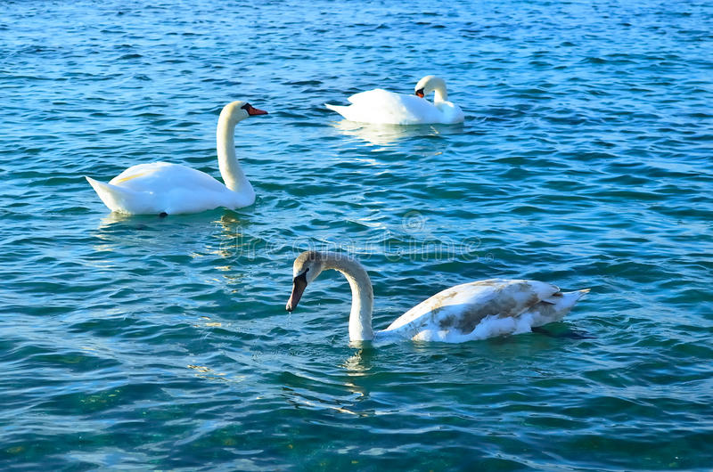 White swans at sea. White swans in the blue sea water stock photo