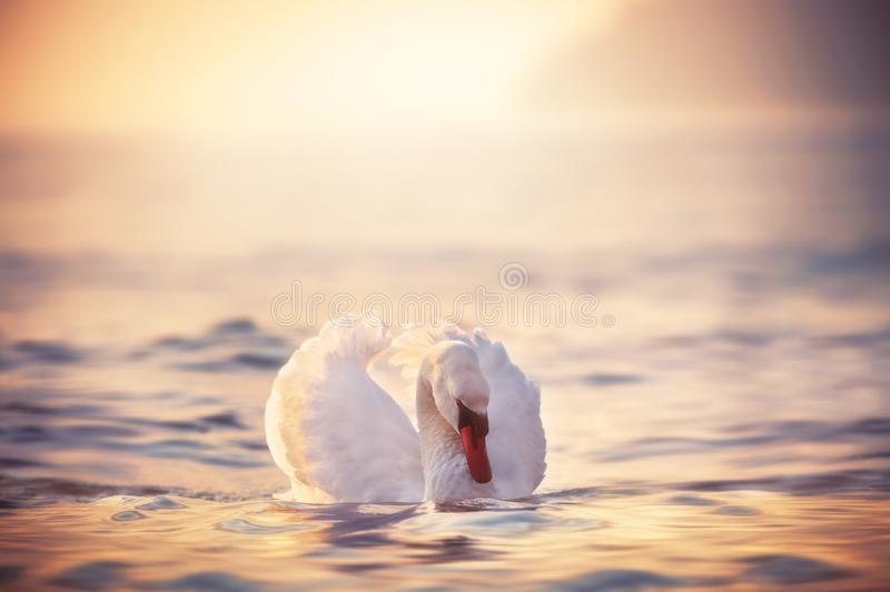 White swan in the sea water and during sunrise stock photography
