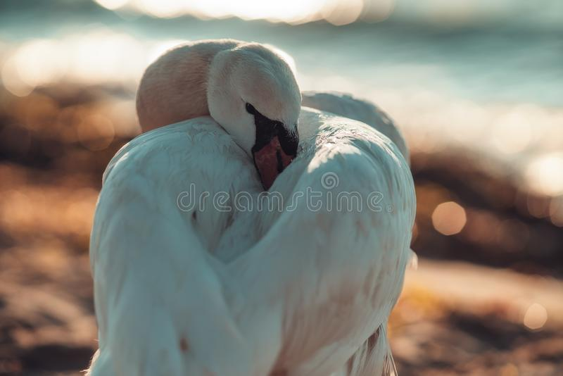 White swans in the sea,sunrise shot stock photography