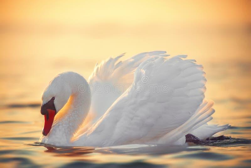 White swan in the sea water, beautiful sunrise stock photo