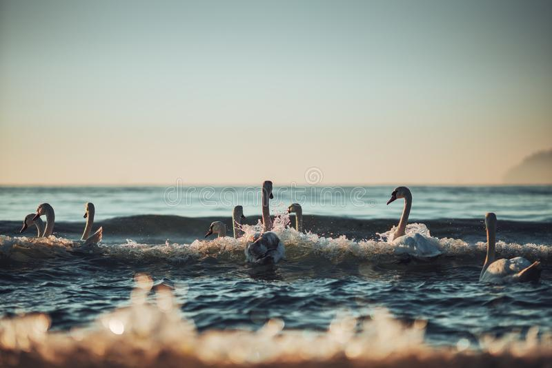 White swans in the sea,sunrise shot royalty free stock photography