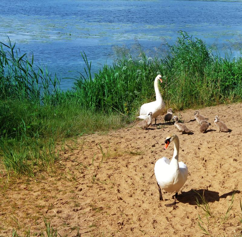 White swans with small Chicks stock image