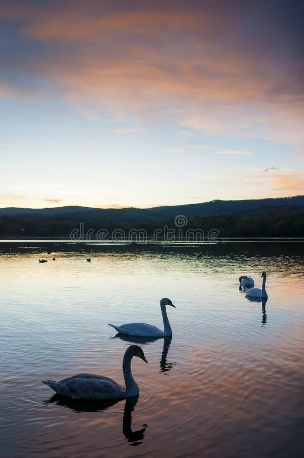 White swans at sunset and saturated sky royalty free stock photography