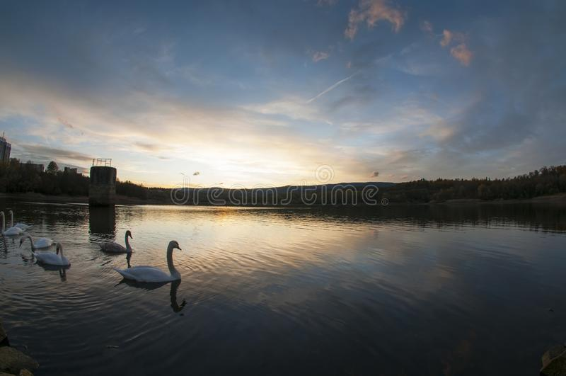 White swans at sunset and saturated sky royalty free stock photos