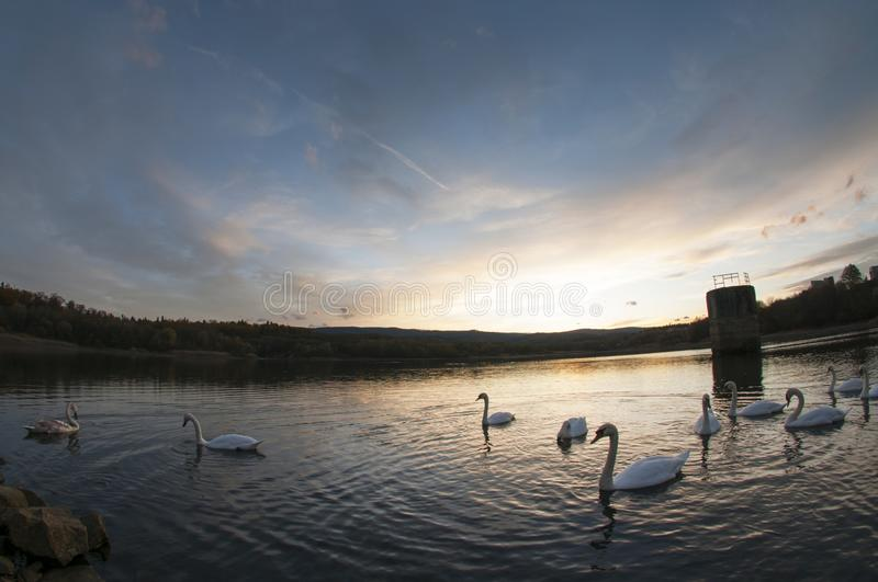 White swans at sunset and saturated sky stock photos
