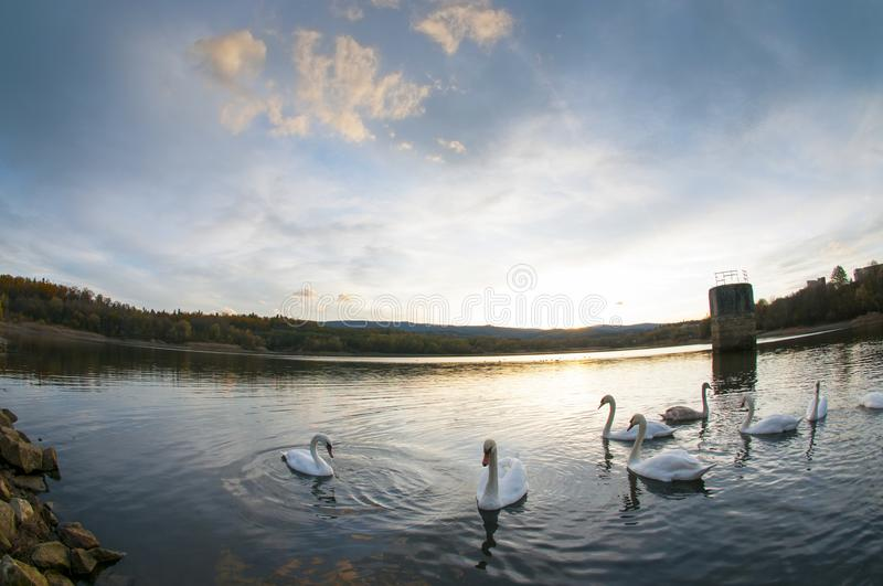 White swans at sunset and saturated sky stock photography
