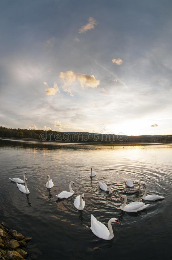 White swans at sunset and saturated sky royalty free stock images