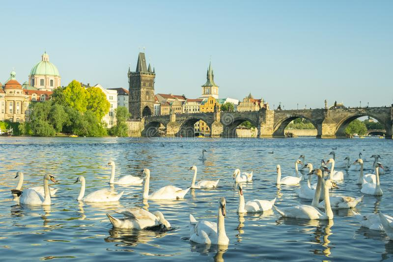 White swans swim near the river bank in prague royalty free stock images