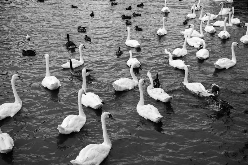 White swans swimming in lake. Beautiful black and white view wit royalty free stock images