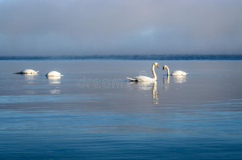 White swans swimming near the coast of Baltic sea on a misty day royalty free stock photos