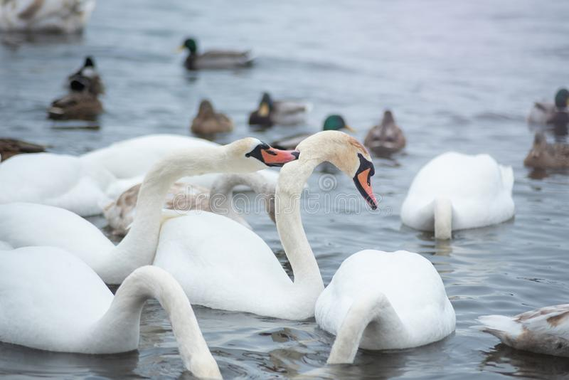 White swans on water in winter cold day swimming on river. migratory birds in Ukraine river Dnepr. The mute swan Cygnus olor. White swans on water in winter cold royalty free stock images