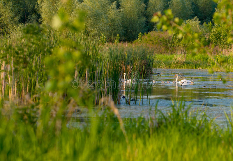 White swans with young cygnets. Couple white swans with young cygnets in summer stock image