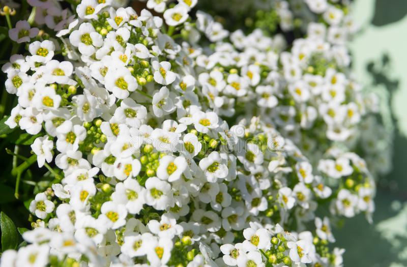 A White Sweet Alyssum Lobularia maritima flower is a delicate carpet of tiny flowers in Full Bloom, in a spring season. White Sweet Alyssum Lobularia maritima stock images