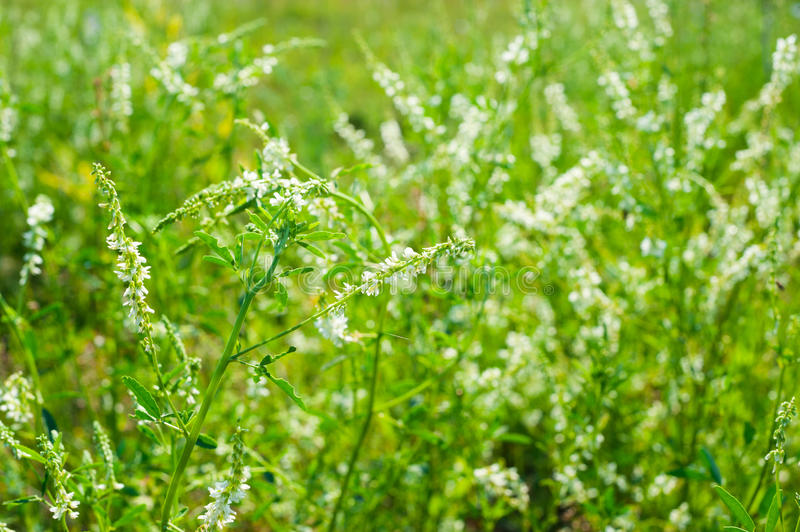 White sweet clover. Medicinal plant: White sweet clover royalty free stock image