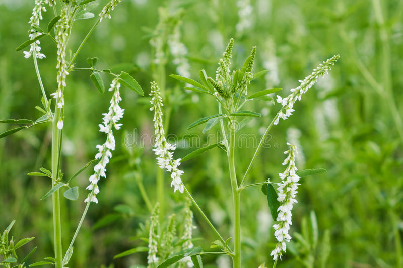 White Sweet Clover. Wildflowers in early Summer. Melilotus albus, is a legume royalty free stock photo