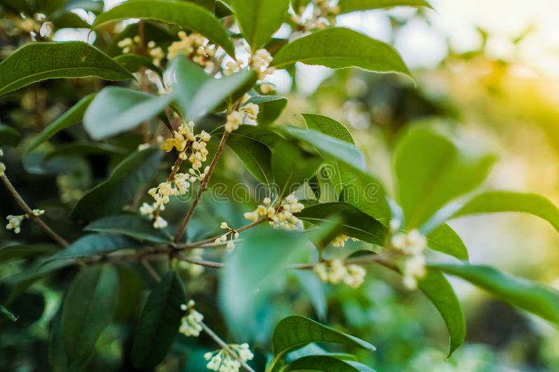 White Sweet osmanthus flower on a tree royalty free stock images